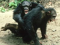 Chimp_Battle