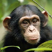 chimpware